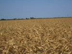 Scorched_corn_fields,_Castroville,_TX,_2011_IMG_3231